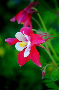 Columbine, Aquilegia by Nate A, via 500px