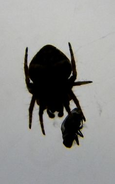 Spider with a Fly~cl