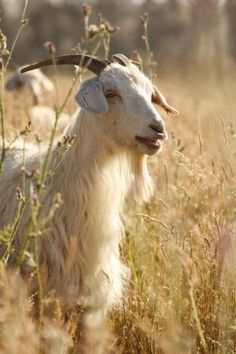 Learn about raising Cashmere goats for their luxurious fiber. Plus the goat's milk! Babydoll Sheep, Farm Animals, Cute Animals, Goat Care, Animal Fibres, Raising Goats, Goat Farming, Baby Goats, Hobby Farms