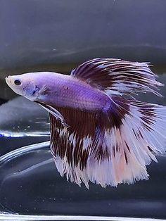 Live Betta Fish Male Import Galaxy Monster Dragon Rosetail HalfMoon 243