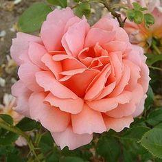 ~Pernetiana Hybrid Tea Rose: Rosa 'Dr Edward Deacon' (U.K., 1926)