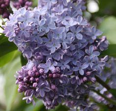 Flieder Syringa vulgaris 'President Lincoln' - Blaue Flieder - Flieder-Premium Fliedertraum