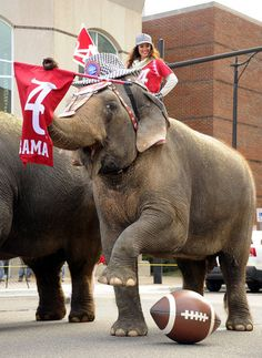 Eight Asian elephants made their way through the streets of Birmingham and made a visit to the Alabama Sports Hall of Fame for a special tribute to the Alabama Crimson Tide football team for winning the 2012 BCS Championship. Crimson Tide Football, Alabama Football, Alabama Crimson Tide, College Football, Football Team, Football Memes, Photo Elephant, Bama Fever, College Game Days