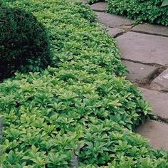 Pachysandra - shade loving ground cover, spreads like crazy, very tough to kill