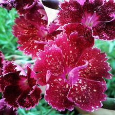 Dianthus Gold Fleck #Carnation #garden #gardening