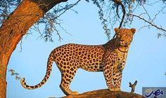 """العالم يحتفل بيوم الحياة البرية تحت شعار…: احتفل العالم الجمعة باليوم العالمي للحياة البرية حيث إن شعار هذا العام هو """"استمعوا إلى الأصوات…"""