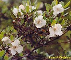 Eucryphia lucida - Leatherwood Australian Wildflowers, Australian Flowers, Australian Plants, Flora Flowers, Wild Flowers, Tasmania, Tree Art, Nativity, Landscape