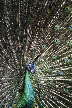 A peacock displaying his feathers, Taken behind wire. This boy is different than the other peacocks he is green instead of blue. A green peafowl from South east Asia