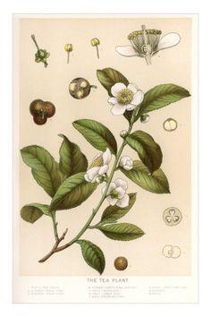 Botanical Image of Tea Plant Premium Poster www.AllPosters.co.uk