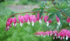 #Dicentra #spectabilis: Das #Traenende #Herz kommt in Korea sowie im Norden und Westen der Volksrepublik China in lichten, feuchten Berglaubwäldern in Höhenlagen von 30 bis 2400 Meter vor.  Obwohl die Art eine sehr häufige Gartenpflanze ist, verwildert sie nur selten. Die Blütezeit reicht von Mai bis Juni, selten beginnt sie bereits im April. Die Blütentriebe eignen sich für gut haltbaren Vasenschmuck!
