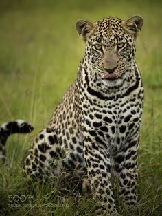 Sharp Eyed Leopard by ClementWild via http://ift.tt/290fwEA
