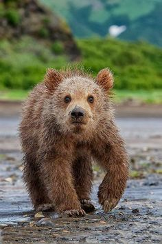 Coastal Brown Bear Cub ~ By Christopher Dodds