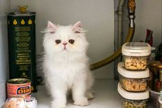 Angelo, the white Persian cat