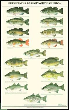Free Bass Fish Pictures | Bass Fish Chart