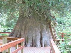 The World´s Tree Species: Giant Cedar near Elk River Idaho