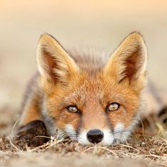 red fox portrait | animal + wildlife photography