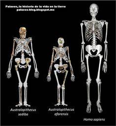 Pertenece al género Homo que fue más diversificado, y durante el último millón y medio de años incluía otras especies ya extintas. Desde la extinción del Homo neanderthalensis, hace 45 000 años y del Homo floresiensis, hace unos 12 000 años, el Homo sapiens es la única especie conocida del género Homo que aún perdura.