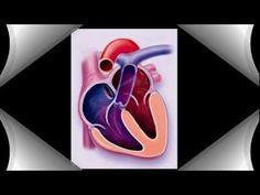 מבנה הלב - YouTube