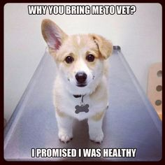Corgi puppy at the vet