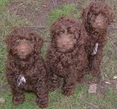 chocolate schnoodle - Google Search