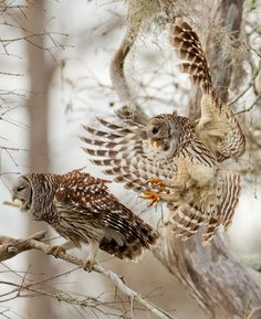 Beautiful Barred Owls by Ron B Love Moments