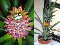 I segreti dell'Ananas 1: come coltivarlo in casa? Usa il ciuffo.