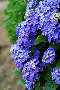 Blue Hydrangeas - my favorite flower. We had a HUGE hydrangea bush on the side of the house I grew up in. I had no idea as a child how amazing it was.