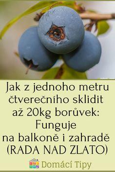 Jak z jednoho metru čtverečního sklidit až 20kg borůvek: Funguje na balkoně i zahradě (RADA NAD ZLATO)