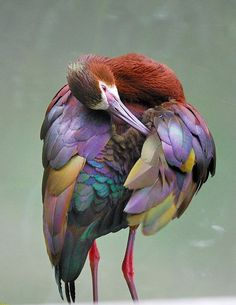 A tall, thin bird with glossy, colorful feathers cleans itself with a long beak. Pretty Birds, Beautiful Birds, Beautiful World, Animals Beautiful, Simply Beautiful, Beautiful Things, Absolutely Stunning, Kinds Of Birds, All Birds
