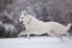 Swiss White Shepherd- so my next pup!!