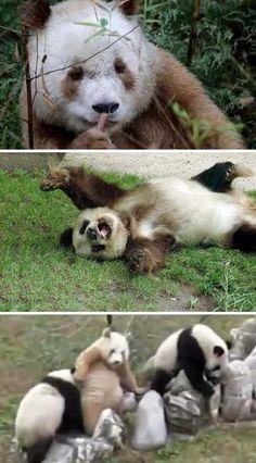 Rare Brown Pandas Warm A Black & White World - WebEcoist