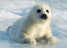 Photo of Harp Seal for fans of Seals. Pictures uploaded by Fanpop users for Animals Picture Contest.