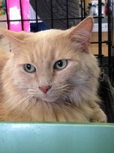 Meet Juliette, a Petfinder adoptable Domestic Medium Hair - buff Cat | Thousand Oaks, CA | Juliette was rescued from a Santa Paula public works yard where she had a litter of kittens in a...