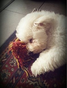 My Belle - tired out after a long day of play. Cute Puppies, Cute Dogs, Dogs And Puppies, Doggies, Animals And Pets, Baby Animals, Cute Animals, Bichon Dog, Poodle Mix