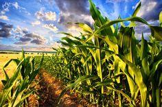 Farmers, Environmental Groups Defend Moratorium of GMO Crops on Hawai'i's Big Island Corn Salad Recipes, Corn Salads, Yellow Maize, Big Island, Agriculture, Farmer, Funny, Past, Organic
