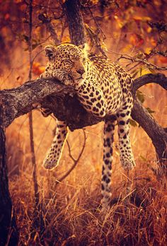 Leopard (Panthera pardus) - sleeping like a boss.