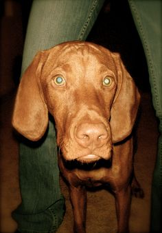 Vizla!! Fun fact: they are probably the cleanest dogs needing baths only every 3-4 months! :)