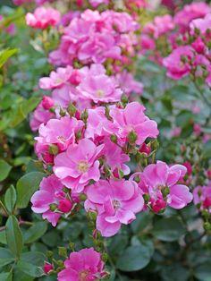 'Lavender Meidiland' | Shrub rose. France. Meilland-2008