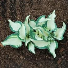 Rare Hosta Garden Perennial Plantain Lily Shade Plant (200 Pcs) – Self Sufficient Soul Plantain Lily, Plants, Perennials, Lily Flower Seeds, Perennial Herbs, Home Garden Plants, Bonsai Flower, Hosta Plants, Flower Seeds