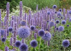 Agastache Blue Fortune planted with Echinops ritro Veitch's Blue They produce…