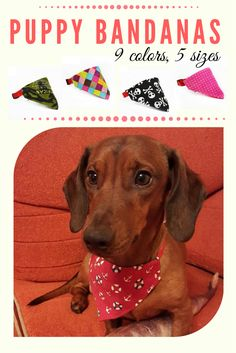 Trendy dachshound with his summer bandana! This dog looks more stylish than me...