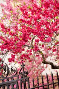 Spring Crabapple, Washington Park, Charleston, SC © Doug Hickok All Rights Reserved More here… hue and eye