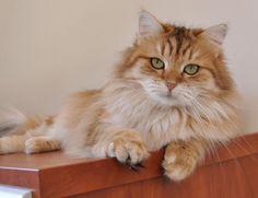 Black Golden Classic Tabby Tabby Cat Colors Tabby Cat