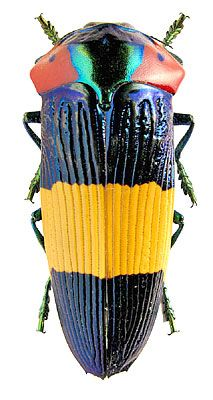 Jewel Beetle - Calodema ribbei