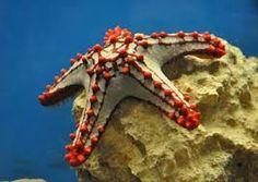 Resultado de imagen para estrella de mar