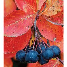 Aronia melanocarpa (Black chokeberry) - Fine Gardening Plant Guide