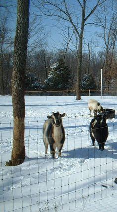 Goats...Photo By Lilly Jordan