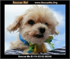 Apollo (male)  Maltese  Age: Adult  Health:Neutered, Vaccinations Current  If you are interested in me, please visit my website, www.breederadoptions.org, go to the Available Dogs page, read my Policies and Procedures, complete Adoption Form for me, and my rescuers will contact you promptly. HI! My name is Apollo and I am a sweet little Maltese boy who is 5 years old and I weigh 11 pounds. I have lived in a cage all of my life so I just can't wait for my forever home. I need a stay…