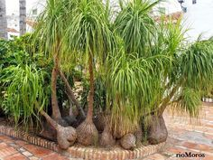 Apostamos por la preciosa palmera 'Pata de elefante'