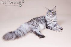 Kattenfotograaf Noordwijk - Drie Maine Coon Katten-2